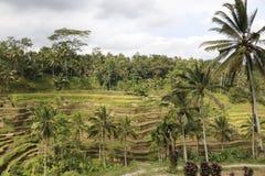 Τομείς Ινδονησία ρυζιού Στοκ εικόνα με δικαίωμα ελεύθερης χρήσης