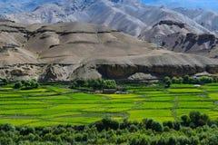 Τομείς μουστάρδας στο leh και ladakh Στοκ Εικόνα