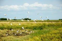 Τομείς ορυζώνα και άσπρα πουλιά Στοκ φωτογραφία με δικαίωμα ελεύθερης χρήσης
