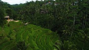 Τομείς ορυζώνα ρυζιού κοντά σε Ubud στο Μπαλί, Ινδονησία απόθεμα βίντεο