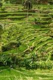 Τομείς ορυζώνα ρυζιού Ubud Στοκ Εικόνες
