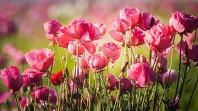 Τομείς λουλουδιών σε Carlsbad Στοκ φωτογραφία με δικαίωμα ελεύθερης χρήσης