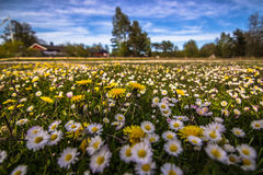 Τομείς λουλουδιών της Gotland, Σουηδία Στοκ φωτογραφία με δικαίωμα ελεύθερης χρήσης