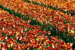 Τομείς λουλουδιών τουλιπών Στοκ φωτογραφίες με δικαίωμα ελεύθερης χρήσης