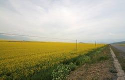 Τομείς λουλουδιών Canola Στοκ Εικόνες