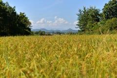 Τομείς ρυζιού κίτρινοι Στοκ φωτογραφία με δικαίωμα ελεύθερης χρήσης