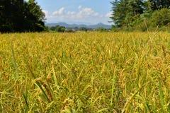 Τομείς ρυζιού κίτρινοι Στοκ Εικόνες
