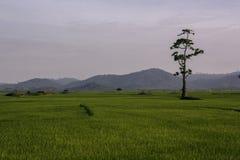 Τομείς ρυζιού και μόνο μόνιμο δέντρο στοκ εικόνες