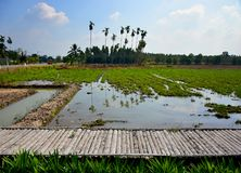 Τομείς ρυζιού και ξύλινη γέφυρα με το σκιάχτρο στοκ φωτογραφία με δικαίωμα ελεύθερης χρήσης
