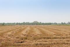 Τομείς ρυζιού μετά από συγκομισμένος στοκ εικόνες