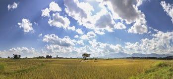 Τομείς ρυζιού μετά από την εποχή συγκομιδών στοκ φωτογραφία