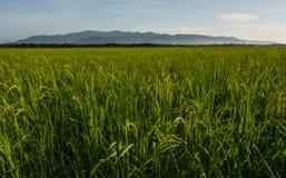 Τομείς ρυζιού με τα βουνά υποβάθρου Στοκ Εικόνα