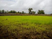 Τομείς ρυζιού/ορυζώνα στοκ εικόνες με δικαίωμα ελεύθερης χρήσης