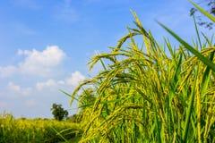 Τομείς ρυζιού ορυζώνα Στοκ Εικόνα