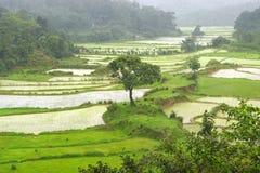 Τομείς ρυζιού στην Ινδία στοκ εικόνα με δικαίωμα ελεύθερης χρήσης