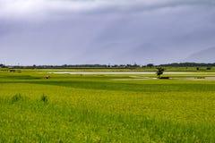 Τομείς ρυζιού στην Ταϊβάν Στοκ Εικόνες