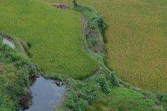 Τομείς ρυζιού στη βόρεια Κίνα, ζαλίζοντας σκηνικά δ Υ Στοκ Εικόνα