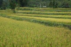 Τομείς ρυζιού στη βόρεια Κίνα, ζαλίζοντας σκηνικά δ Υ Στοκ εικόνα με δικαίωμα ελεύθερης χρήσης