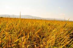 Τομείς ρυζιού στη συγκομιδή του χρόνου Στοκ Εικόνα