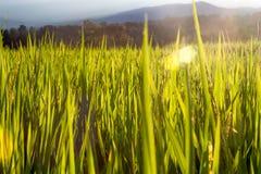 Τομείς ρυζιού στο απόγευμα Στοκ εικόνες με δικαίωμα ελεύθερης χρήσης