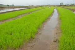Τομείς ρυζιού της Ταϊλάνδης Στοκ Φωτογραφία