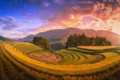 Τομείς ρυζιού terraced με το δέντρο πεύκων στο ηλιοβασίλεμα στη MU Cang Chai στοκ φωτογραφία