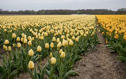 Τομείς τουλιπών του Bollenstreek, νότια Ολλανδία, Κάτω Χώρες Στοκ Εικόνες