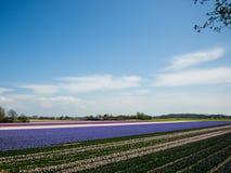 Τομείς τουλιπών, άλλη άνθηση λουλουδιών Στοκ φωτογραφία με δικαίωμα ελεύθερης χρήσης