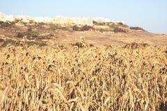 Τομείς του σίτου μια ηλιόλουστη ημέρα στη Μάλτα, Gozo, αγροτική ζωή στη Μάλτα Στοκ εικόνα με δικαίωμα ελεύθερης χρήσης