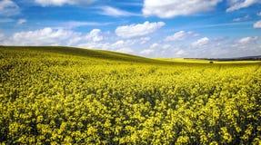 Τομείς του χρυσού (τομείς λουλουδιών canola) και ενός μπλε ουρανού Στοκ Εικόνες