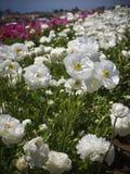 Τομείς των λουλουδιών, νότια Καλιφόρνια Στοκ Εικόνες