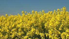 Τομείς φυτειών συγκομιδών Canola - τομέας συναπόσπορων σε μια ηλιόλουστη θερινή ημέρα φιλμ μικρού μήκους