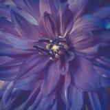 Τονισμένη ιώδης κινηματογράφηση σε πρώτο πλάνο λουλουδιών νταλιών χρώματος το καλοκαίρι Στοκ εικόνα με δικαίωμα ελεύθερης χρήσης