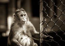 Τονισμένος σέπια θηλυκός πίθηκος καπό macaque Στοκ Εικόνες