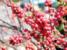 Τον Απρίλιο του 2010 της Ουάσιγκτον Winterberry Στοκ εικόνες με δικαίωμα ελεύθερης χρήσης