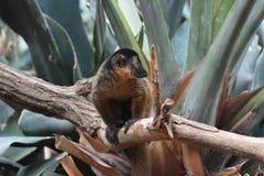 Τον καφετή πιαμένο κερκοπίθηκο που ενδιαφέρεται γοητεύοντας από κάτι Στοκ Φωτογραφίες