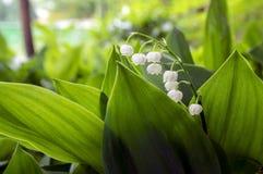 Τοξικά όμορφα δασικά διακοσμητικά λουλούδια majalis Convallaria στην άνθιση με τα φύλλα Στοκ φωτογραφία με δικαίωμα ελεύθερης χρήσης