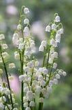 Τοξικά όμορφα δασικά διακοσμητικά λουλούδια majalis Convallaria στην άνθιση με τα φύλλα Στοκ Εικόνες