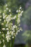 Τοξικά όμορφα δασικά διακοσμητικά λουλούδια majalis Convallaria στην άνθιση με τα φύλλα Στοκ εικόνες με δικαίωμα ελεύθερης χρήσης