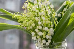 Τοξικά όμορφα δασικά διακοσμητικά λουλούδια majalis Convallaria στην άνθιση με τα φύλλα Στοκ Φωτογραφία