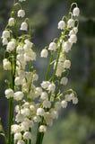 Τοξικά όμορφα διακοσμητικά λουλούδια majalis Convallaria στην άνθιση με τα φύλλα Στοκ φωτογραφίες με δικαίωμα ελεύθερης χρήσης