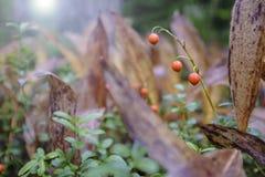 Τοξικός πορτοκαλής κρίνος μούρων των majalis Convallaria κοιλάδων Στοκ Εικόνες