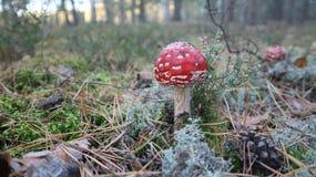 τοξικό αγαρικό μυγών μανιταριών ή amanita muscaria στο δάσος φθινοπώρου στοκ εικόνα με δικαίωμα ελεύθερης χρήσης
