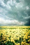 Τοπίο άνοιξη με τους κίτρινους ναρκίσσους λουλουδιών Στοκ Εικόνες