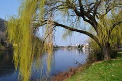 Τοπίο άνοιξη του ποταμού Adda riverbank με τους μεγάλους πράσινους κλάδους δέντρων ιτιών σε Lecco στοκ εικόνα