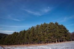 Τοπίο δέντρων πεύκων Στοκ φωτογραφίες με δικαίωμα ελεύθερης χρήσης