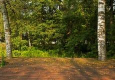 Τοπίο δέντρων σημύδων με τις ξύλινες σανίδες πατωμάτων στο πρώτο πλάνο Στοκ Εικόνα