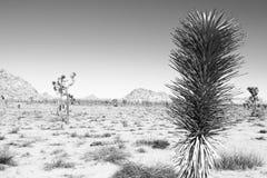 Τοπίο δέντρων του Joshua Στοκ φωτογραφία με δικαίωμα ελεύθερης χρήσης