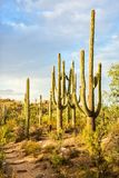 Τοπίο έρημος Sonoran με τους κάκτους Saguaro, εθνικό πάρκο Saguaro, νοτιοανατολική Αριζόνα, Ηνωμένες Πολιτείες στοκ εικόνες