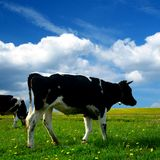 τοπίο αγελάδων Στοκ φωτογραφία με δικαίωμα ελεύθερης χρήσης